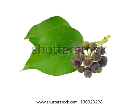 Ivy Leaves and Berries - stock photo