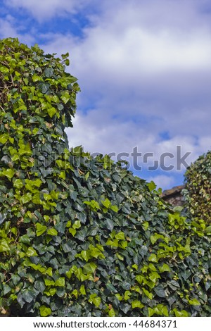 ivy leaves and blue sky with clouds