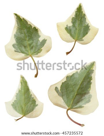 Ivy leaves. Hedera, helix. Cose up isolated on white background - stock photo