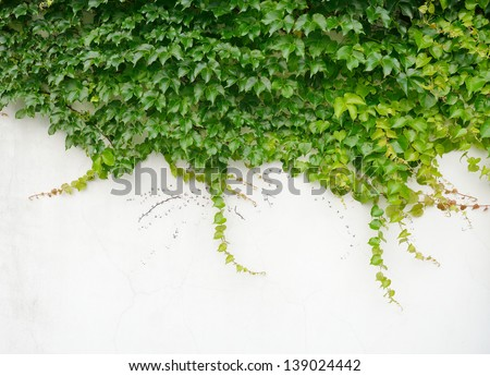 ivy leaves isolated - stock photo
