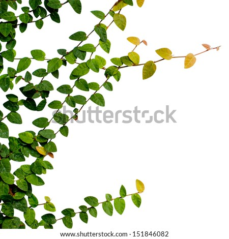 ivy leaves isolated on a white background - stock photo