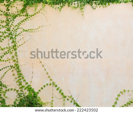 ivy leaves isolated on a white background. - stock photo
