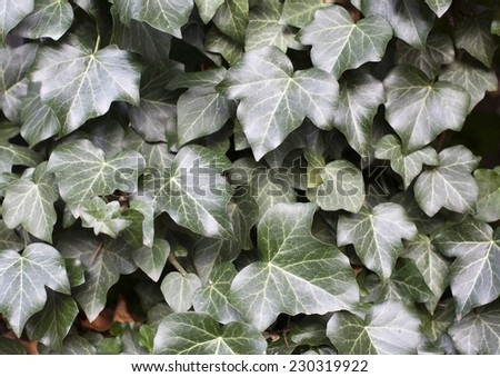 Ivy leaves on wall  as a background - stock photo