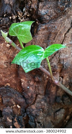 ivy with bark background