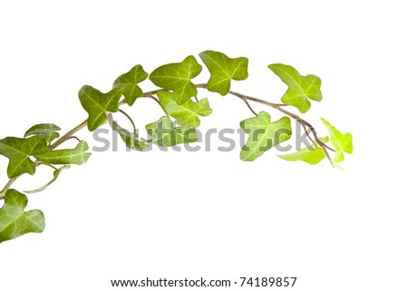 ivy with green leaves on a white background - stock photo