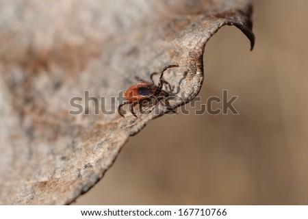 Ixodes scapularis - stock photo