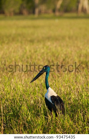 Jabiru in the wild (Black-necked Stork).  Ephippiorhynchus Asiaticus Queensland, Australia. - stock photo