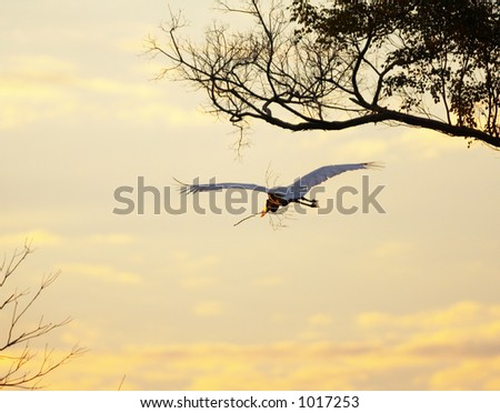 Jabiru stork flying at the sunset, Pantanal, Brazil - stock photo