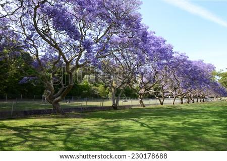 Jacaranda Tree Full Bloom Row Green Stock Photo 100 Legal