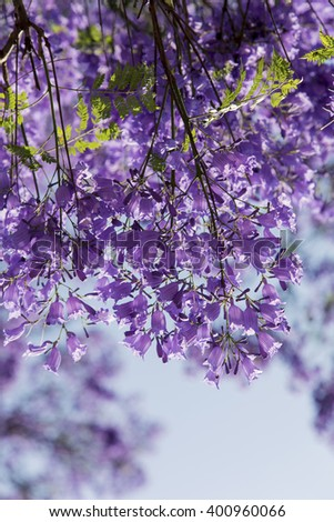 Jacaranda tree trunk with small flowers and the sky