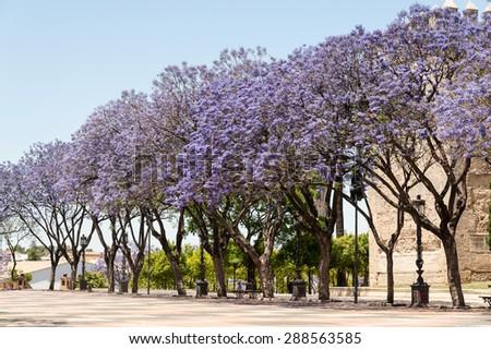 Jacaranda Trees Blooming Purple Flowers Jerez Stock Photo Royalty