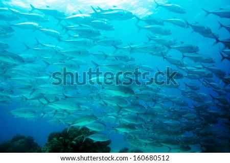 Jack Fish in Cebu, Philippine. - stock photo