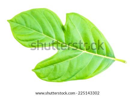 Jack fruit leaf isolated on white background - stock photo
