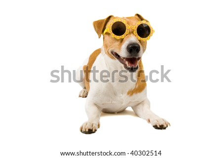 jack russel is wearing sunglasses isolated on white