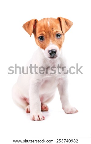 jack russel isolated on white - stock photo