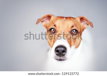 jack russel muzzle close up - stock photo