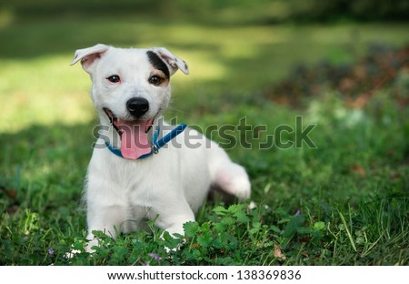 jack russel on a green spring grass - stock photo