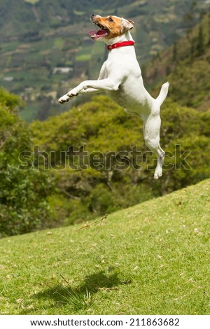 Jack Russel Parson terrier very high jump, more than three times shes height - stock photo