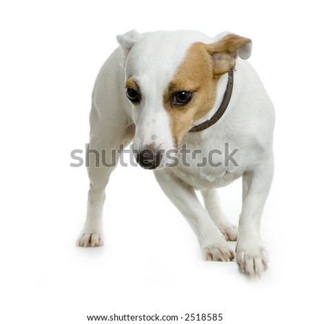 Jack russel standing in front of white background