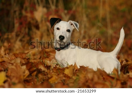 Jack Russel Terrier - stock photo