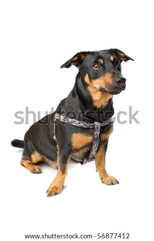 jack russel terrier dog sitting and looking forward, isolated on a white background - stock photo