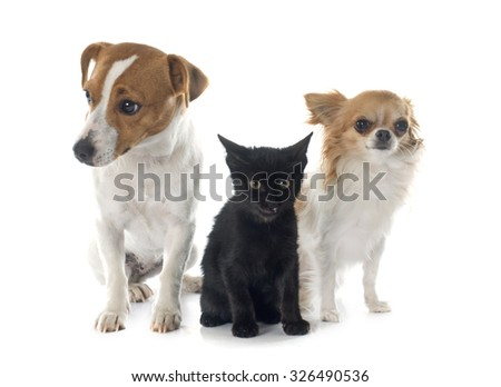 jack russel terrier, kitten  and chihuahua in front of white background