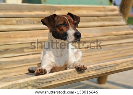Jack russel terrier lying on a bench - stock photo