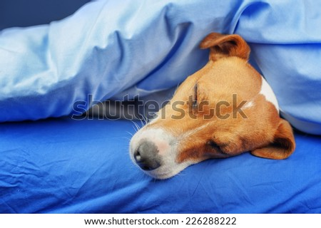 jack russel terrier on blue sheet - stock photo