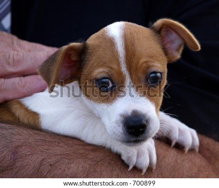 Jack Russel Terrier pup being held - stock photo