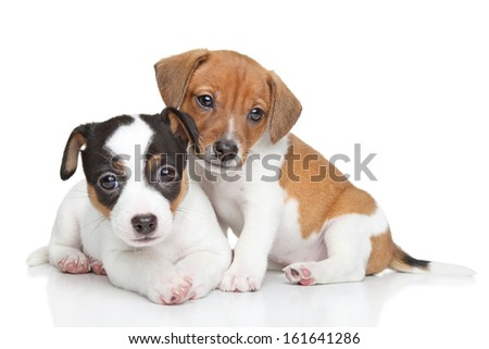 Jack Russel terrier puppies. Close-up portrait on white background