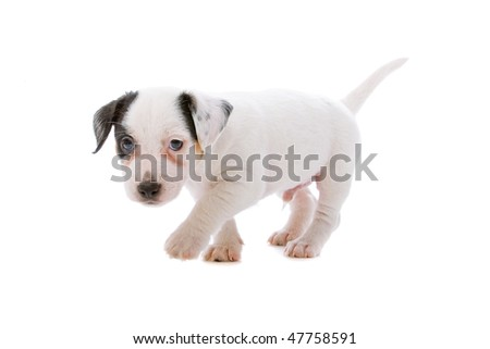 ... russel terrier puppy dog isolated on a white background - stock photo