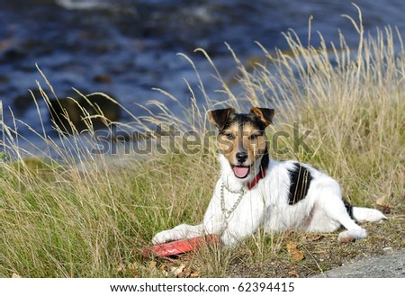 Jack Russel with frisbee - stock photo