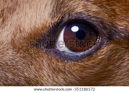 jack russell dog close up of the eyes - stock photo