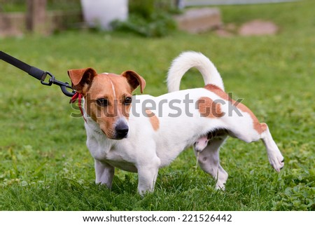 Jack Russell dog cocking leg and peeing