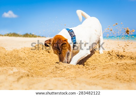 jack russell dog digging a hole in the sand at the beach on summer holiday vacation, ocean shore behind - stock photo