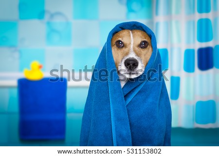 jack russell dog in a bathtub not so amused about that , with blue  towel, having a spa or wellness treatment, in the bath or bathroom