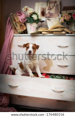 Jack Russell dog, interior, vintage - stock photo