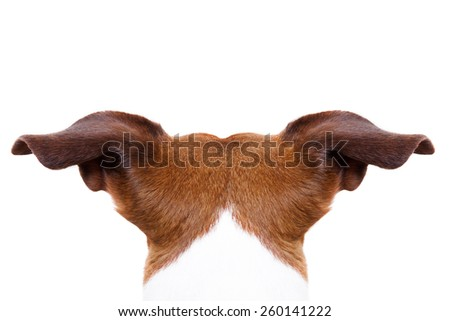 jack russell dog looking and staring somewhere, from behind back rear torso, isolated on white background - stock photo