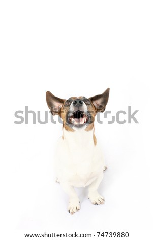 Jack Russell dog looking up - stock photo