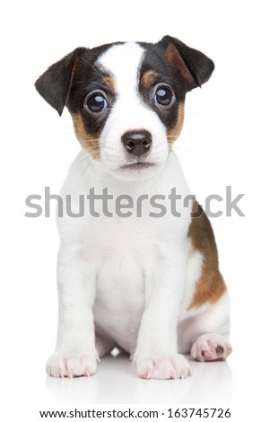 Jack Russell dog puppy. Portrait on white background - stock photo