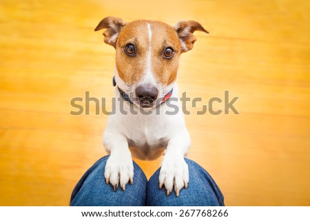 jack russell dog ready for a walk with owner or hungry ,begging on lap , inside their home - stock photo