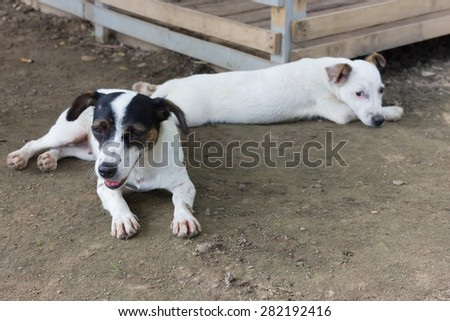 Jack Russell dog Relax in the shade - stock photo