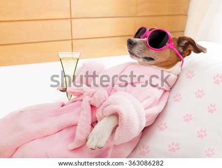 jack russell dog relaxing  and lying, in   spa wellness center ,wearing a  bathrobe and funny sunglasses , champagne cocktail  - stock photo