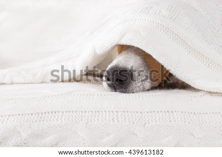 jack russell dog  sleeping under the blanket - stock photo