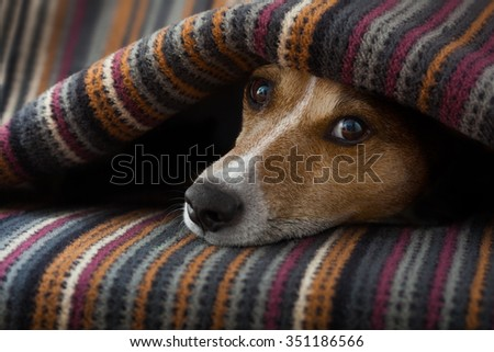 jack russell dog  sleeping under the blanket in bed the  bedroom, ill ,sick or tired, sheet covering its head - stock photo