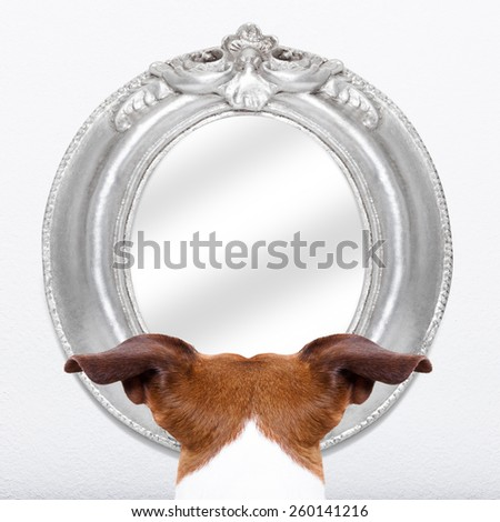 jack russell dog staring  or looking  at the mirror on the white wall  - stock photo
