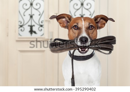 jack russell dog  waiting a the door at home with leather leash in mouth , ready to go for a walk with his owner - stock photo
