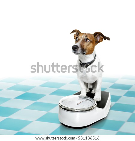 Jack russell dog with guilty conscience  for overweight, and to loose weight , standing on a scale, isolated in bathroom floor