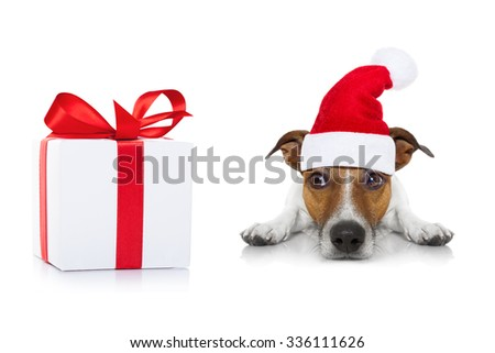 jack russell dog with present ,wearing santa hat, isolated on white background on christmas holidays
