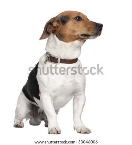 Jack russell in front of a white background